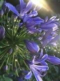 Agapanthus Africanus, Afrikaanse Lily Plant Blossoming in Koloa op het Eiland van Kauai in Hawaï stock afbeelding