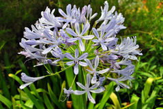 Agapanthus africanus 'Albus' Royalty Free Stock Photography