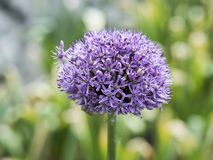 Agapanthus africanus blossom royalty free stock images
