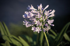 The agapanthus Africanus flower Stock Photography