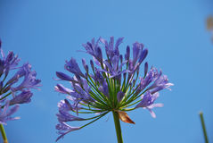 Agapanthus agains blue sky Royalty Free Stock Photos