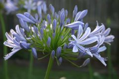 Agapanthus azul Fotografía de archivo libre de regalías