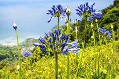 Agapanthus blüht nahe Santana in Madeira, der ein schönes Dorf auf der Nordküste ist Stockbilder