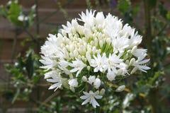 Agapanthus blanc Image libre de droits