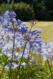 Agapanthus (blauwe bloemen) Stock Afbeeldingen