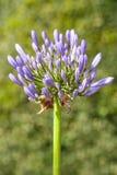 Agapanthus bleu Images libres de droits