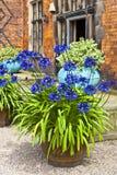 Agapanthus bleu dans un planteur de terre cuite Images libres de droits