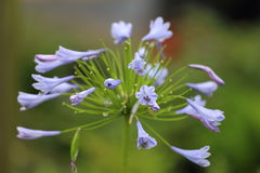 Agapanthus Bloom. A close up view of a Agapanthus, or Lily of the Nile, bloom which is blue Royalty Free Stock Images