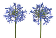 Agapanthus blooms Royalty Free Stock Photo