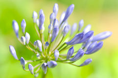 Agapanthus, Blue African lily or Lily of nile Royalty Free Stock Photo