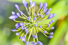 Agapanthus, Blue African lily or Lily of nile Stock Image