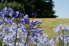 Agapanthus (blue flowers) stock photography
