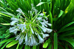 Agapanthus Blue Moon Royalty Free Stock Images