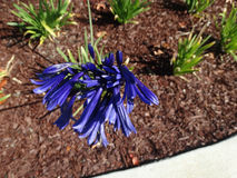 Agapanthus blue violet Royalty Free Stock Photo