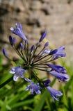 Agapanthus-Blume, die anfängt zu blühen Stockbilder