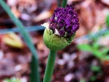 The Agapanthus bud Stock Image