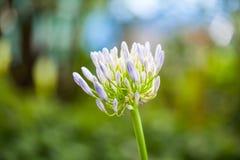 Agapanthus Campanulatus - Beautiful Flowers Royalty Free Stock Images