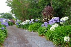 Agapanthus de florescência ao longo de um trajeto no jardim fotografia de stock