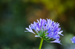 Agapanthus. Detail of A blue agapanthus Stock Photo