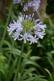 agapanthus dołączający pączkowy kwiat kwitnie lato który Zdjęcia Royalty Free