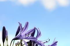 agapanthus dołączający pączkowy kwiat kwitnie lato który Fotografia Royalty Free