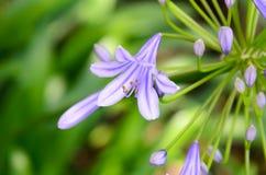 agapanthus dołączający pączkowy kwiat kwitnie lato który Zdjęcie Stock