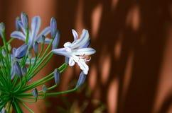 agapanthus dołączający pączkowy kwiat kwitnie lato który Obrazy Royalty Free