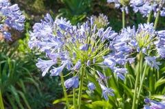 agapanthus dołączający pączkowy kwiat kwitnie lato który Obraz Royalty Free