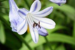agapanthus dołączający pączkowy kwiat kwitnie lato który Obrazy Stock