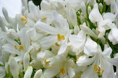 agapanthus dołączający pączkowy kwiat kwitnie lato który Fotografia Stock