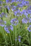 agapanthus dołączający pączkowy kwiat kwitnie lato który Obraz Stock