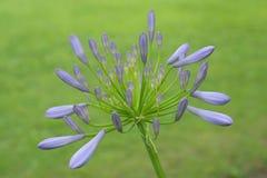 Agapanthus eller afrikansk lilja royaltyfri bild