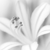 Agapanthus flower. Close up of Agapanthus flower, black and white Royalty Free Stock Image