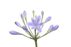 Free Agapanthus Flower Royalty Free Stock Images - 43519669