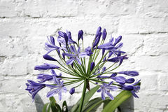 Agapanthus flower on brick wall background Royalty Free Stock Images