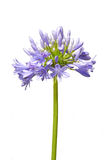 Agapanthus Flower Isolated On White Stock Images