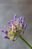 Agapanthus flower plain background. Agapanthus flower not fully in bloom in sun with a plain background Stock Images
