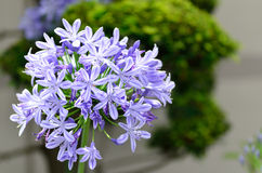 Agapanthus flowers. Stock Photography