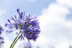 Agapanthus Flowers against a blue sky Royalty Free Stock Image