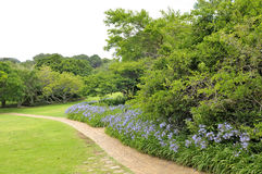 Agapanthus flowers along a footpath Stock Image