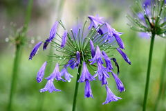 Agapanthus flowers. This are Agapanthus flowers blooming Stock Images