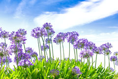 Agapanthus flowers blue sky summer Royalty Free Stock Photography