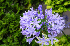 Agapanthus flowers. Royalty Free Stock Images