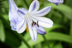 Agapanthus flowers Stock Images