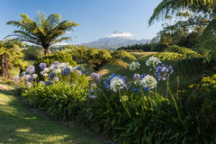 Agapanthus flowers with mount taranaki in background Royalty Free Stock Images