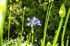 Agapanthus Flowers near Santana in Madeira which is a beautiful village on the north coast. Stock Images