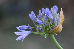 Agapanthus Flowers Stock Photography