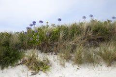 Agapanthus flowers, Tresco, Isles of Scilly, England Stock Image