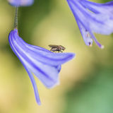 Agapanthus Guardian Stock Image