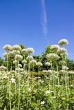 Agapanthus im Sommer (nahe Paris Frankreich) Lizenzfreie Stockbilder